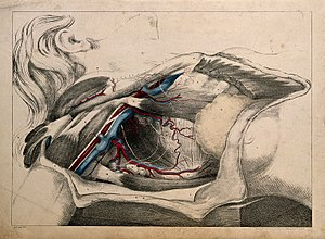 Subclavian and axillary vessels; dissection