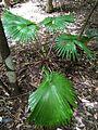 Sulawesi trsr ph09.jpg