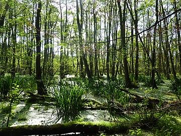 Sumpflandschaft NSG Thurbruch Usedom2.jpg