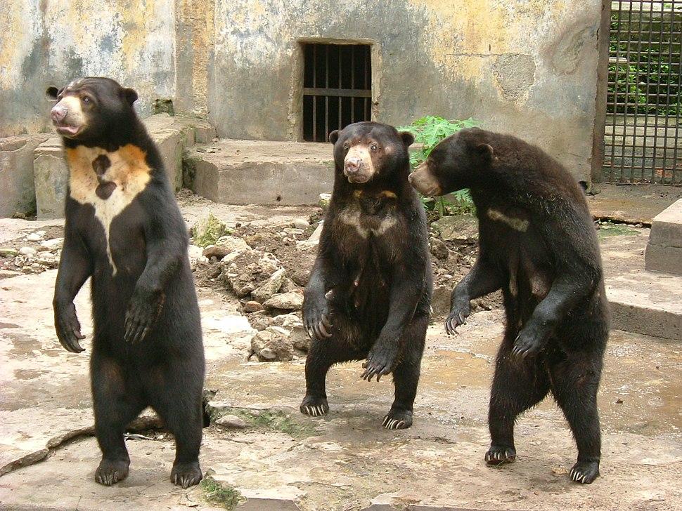 Sun bear medan old zoo