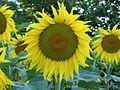 Sun flower - panoramio.jpg
