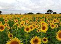 Sunflower Field near Raichur, India.jpg