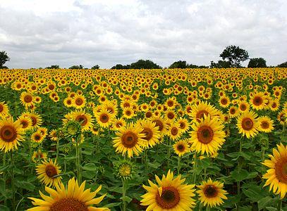 Sunflower field near Mittikellur village, Lingasugur taluk, Raichur district, Karnataka, India