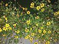 Sunflower image9.jpg