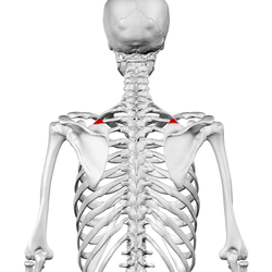 Superior angle of scapula01.png