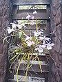 Suvarnabhumi Orchids Farm IMG 20160322 080217 (27447086285).jpg