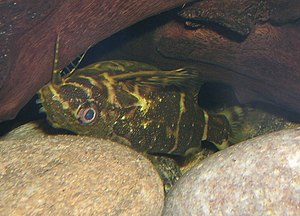 "Upside-down catfish - Synodontis nigriventris, shown here, is commonly confused with species such as Synodontis aterrimus, Synodontis contractus, and Synodontis nigrita, all of which may be sold to aquarists as the ""upside-down catfish""."