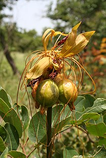<i>Tacca leontopetaloides</i> species of plant