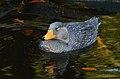 Tachyeres pteneres (Fuegian Steamer Duck - Magellan-Dampfschiffente) - Weltvogelpark Walsrode 2012-10.jpg