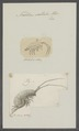 Talitrus saltator - - Print - Iconographia Zoologica - Special Collections University of Amsterdam - UBAINV0274 098 01 0004.tif