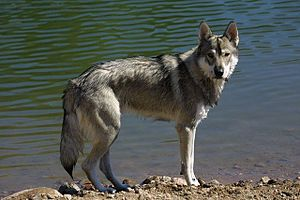Breeding back - A Tamaskan Dog, bred to visually resemble a wolf.