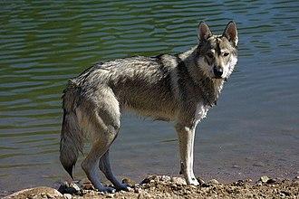 Breeding back - A Tamaskan Dog, bred to visually resemble a wolf.