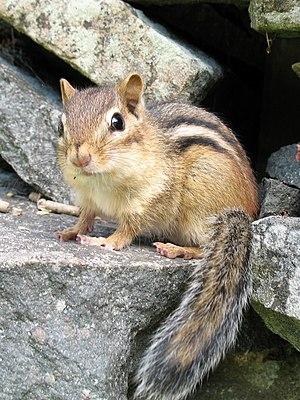 field guide mammals united states minnesota wikibooks open books rh en wikibooks org