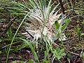 Tapioca Slime Mold on Beargrass.jpg