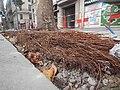 Tapis de racines de platane sous trottoir Platanus root mat under sidewalk Lille northern France 01.jpg