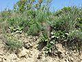 Taraxacum serotinum sl63.jpg