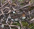Tasmanian Devil scat (I think) - Flickr - brewbooks.jpg