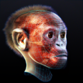 Taung child - Skin and Muscles.png