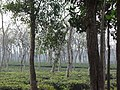 Tea gardens Srimangal Sreemangal Upazila Moulvibazar Maulvibazar Moulavibazar Sylhet 14.jpg