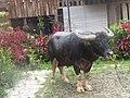 Tedong (Kerbau) Tana Toraja.jpg