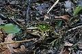 Teichfrosch Pelophylax esculentus 7724.jpg