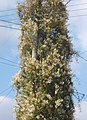 Telegraph pole smothered with Russian Vine - geograph.org.uk - 968699.jpg