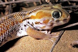 Frog-Eyed Gecko