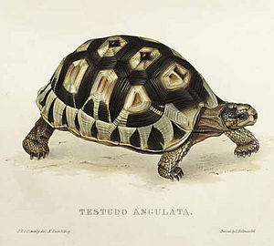 Angulate tortoise - Image of Chersina angulata (under its previous Testudo genus)