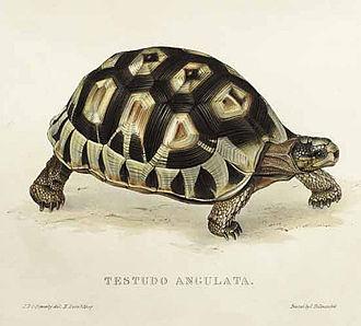 Angulate tortoise - Image of Chersina angulata (under its previous genus, Testudo)
