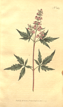 The Botanical Magazine, Plate 364 (Volume 11, 1797).png
