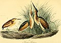 The birds of America - from drawings made in the United States and their territories (1840) (14565098689).jpg