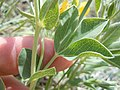 Thermopsis rhombifolia (5156815336).jpg