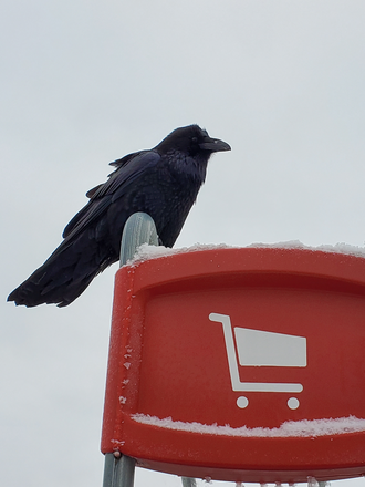 A large raven sitting on a shopping-cart-return-rack. Taken in Thompson, Manitoba, near the City Centre Mall (containing a Wal-Mart and a Safeway), where a large number of ravens gather every day. Thompson Raven.png