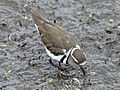 Three-banded Plover RWD6a.jpg