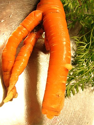 Multiple roots carrot