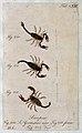 Three scorpions; a male and female Scorpio germanus and a va Wellcome V0022398EL.jpg