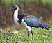 Threskiornis spinicollis - Centenary Lakes crop.jpg