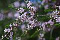 Thryptomene saxicola (Myrtaceae) - 2 photos (9651667173).jpg
