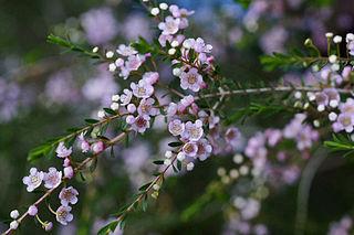<i>Thryptomene saxicola</i> Species of flowering plant