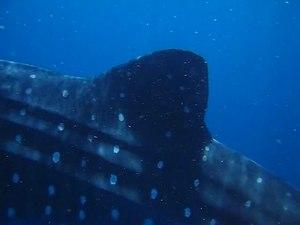 File:Tiburón Ballena, Isla Blanca, México.ogv