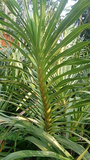 Pseudobulb - Cane-like homoblastic pseudobulb of Grammatophyllum speciosum with many internodes and leaves that persist