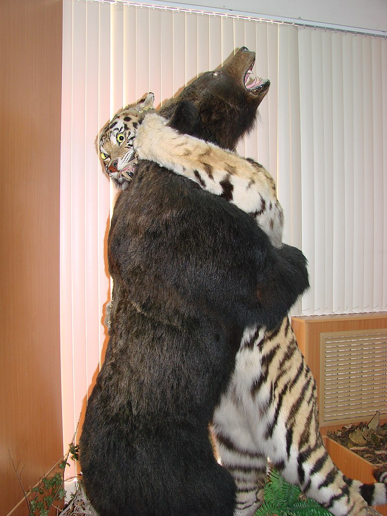 Siberian Tiger Vs Bear File:tiger vs. bear.jpg