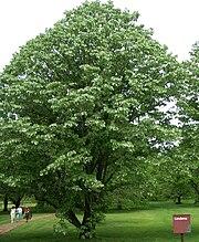 Tilia tomentosaMorton Arboretum acc. 1040-65*2