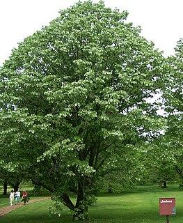 <i>Tilia</i> genus of plants
