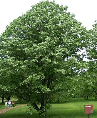 Tilia - Tilia tomentosa, cultivated at the Morton Arboretum near Chicago