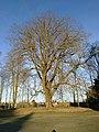 Tilleul argenté (Parc du Château de Dongelberg).jpg