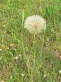 Tragopogon pratensis-Ejdzej-2006-D.jpg