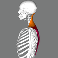 Trapezius lateral.png
