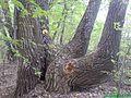 Tree - panoramio - Dmitriy Loginov.jpg