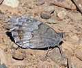 Tree Grayling. Neohypparchia statilinus - Flickr - gailhampshire (1).jpg